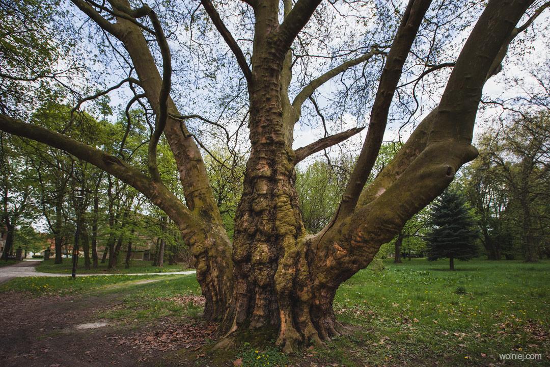 Drzewa przed Pałacem Targoszyn