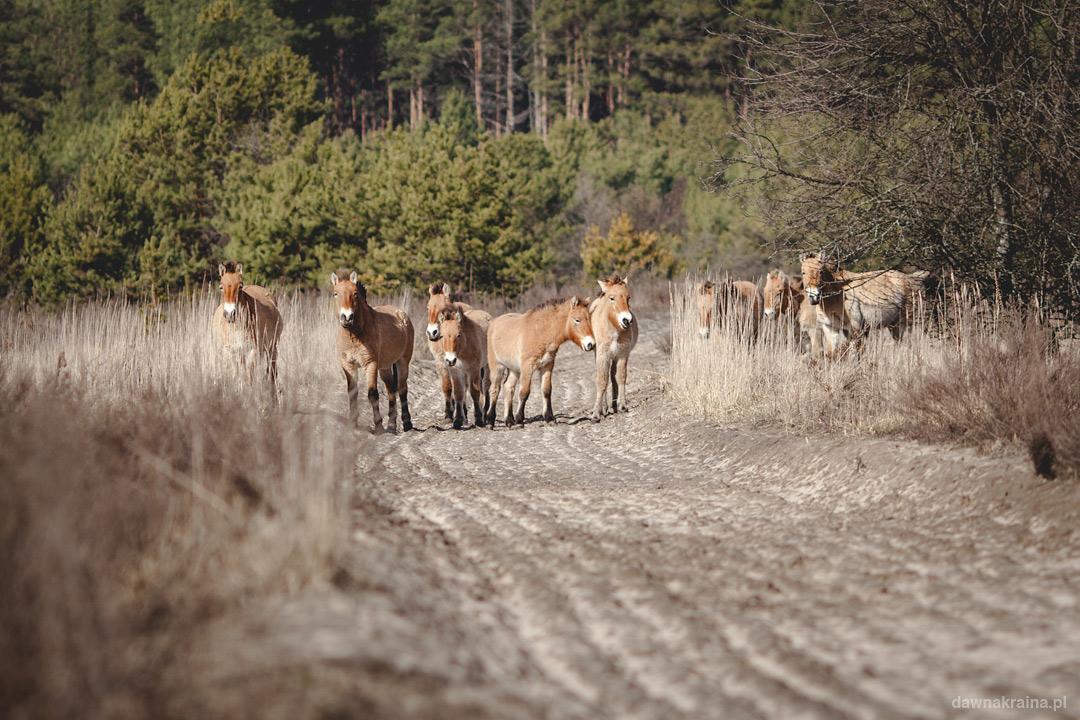dzikie-konie-przewalskiego-prypec