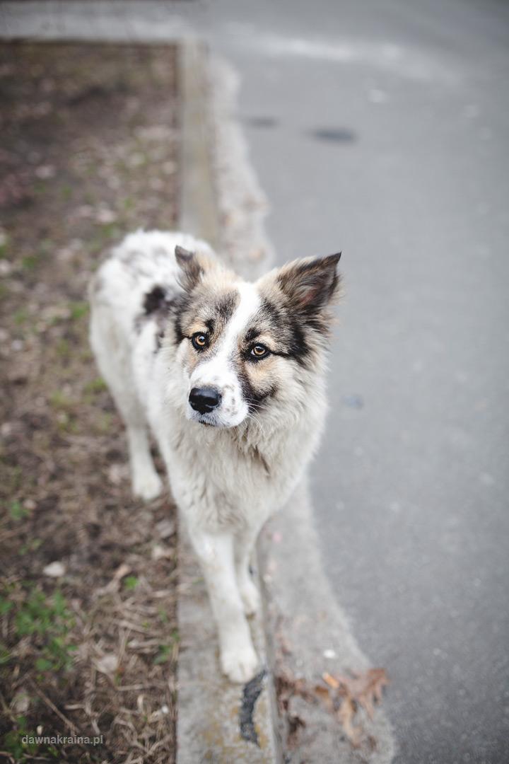 psy na placu przed czwartym blokiem reaktora w Czarnobylu