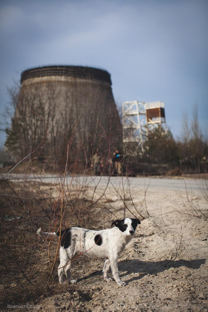 Wieże chłodnicze i zwierzęta w Czarnobylu.