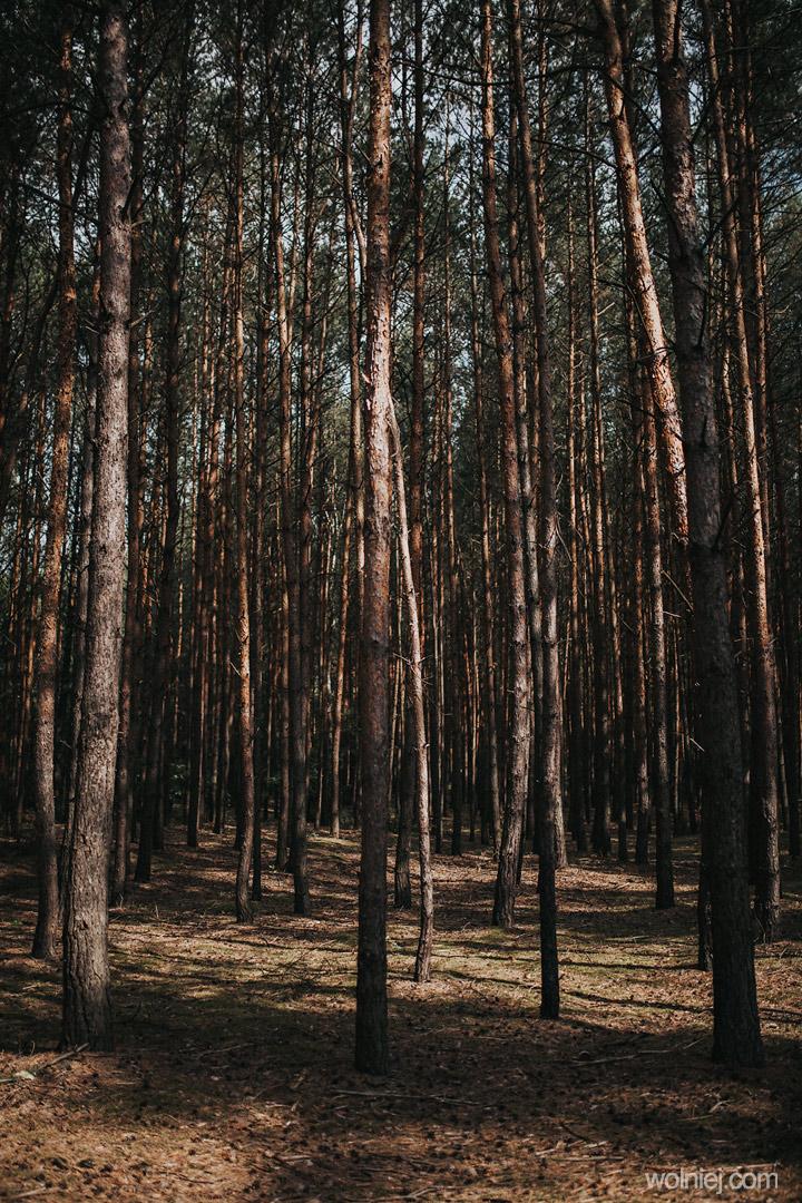 las i Wydmy Kotliny Chodelskiej