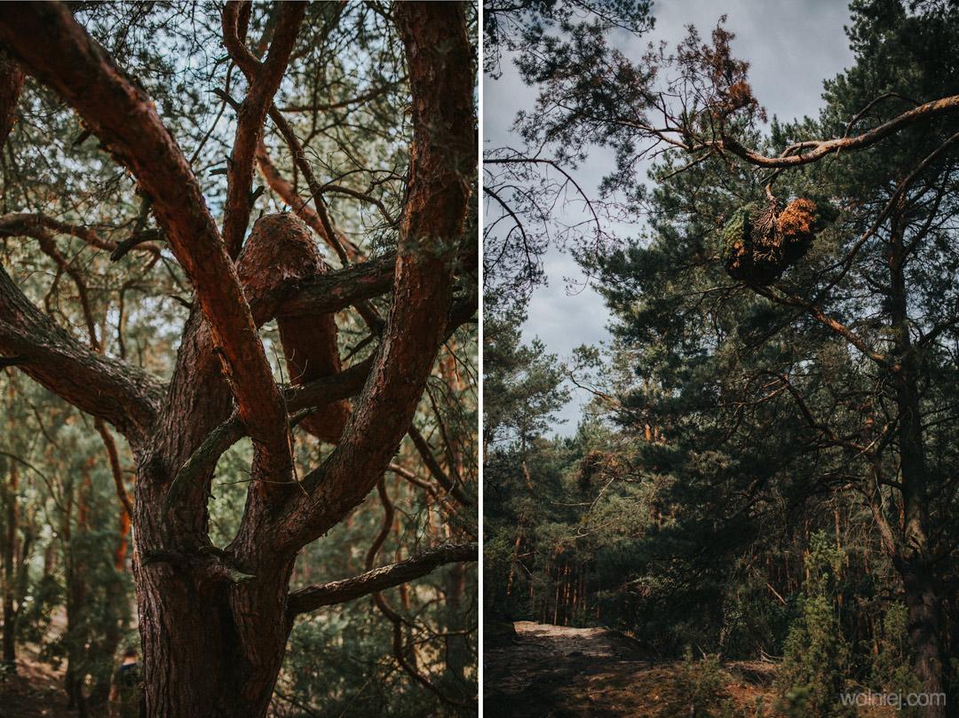 Drzewa porastające Wydmy Kotliny Chodelskiej