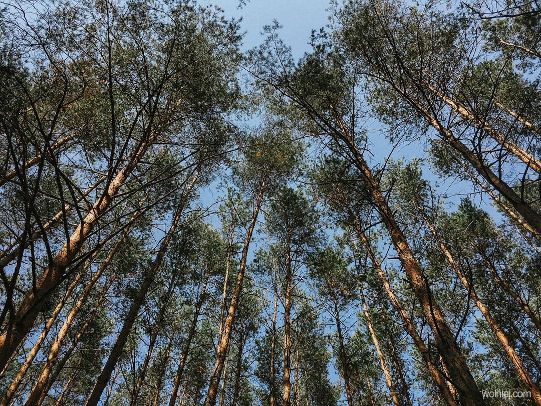 Drzewa i Wydmy Kotliny Chodelskiej