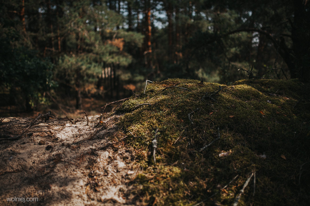 mchy porastające Wydmy Kotliny Chodelskiej