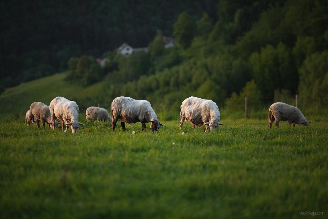 wypas owiec w okolicy ślimaka, platformy widokowej w Woli Kroguleckiej